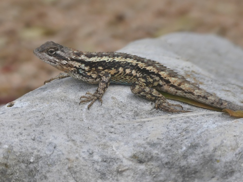 A gorgeous Texas Spiny Lizard.