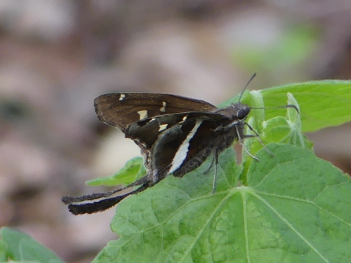 I especially enjoyed the butterfly garden where I found a new butterfly, White-striped Longtail.