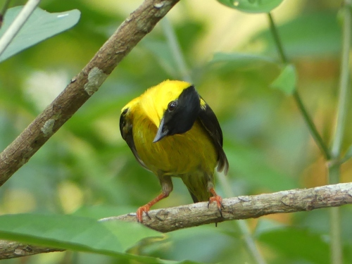 A Golden-collared Manakin looks at us with more curiosity than fear