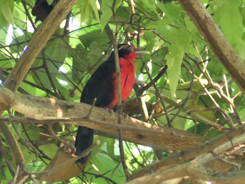 Rosy Thrush-Tanager