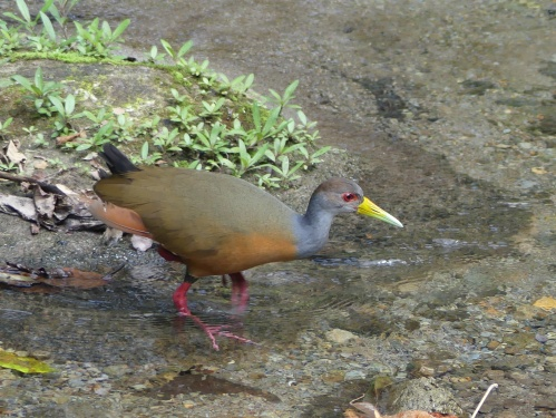 A Gray-cowled Wood-Rail crosses the creek by Canopy Lodge on its way to eat bananas under the feeders.
