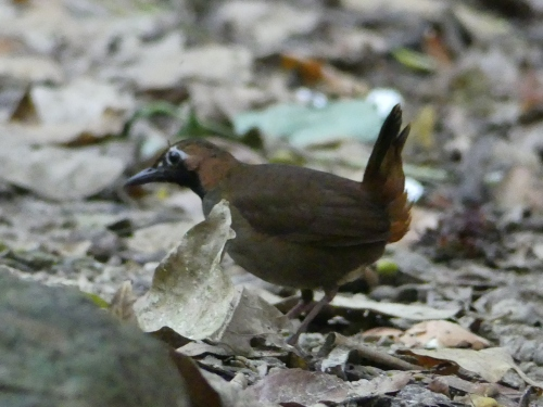 "Black-faced Antthrush. A poor photo, but you can't hide that ""personality."""