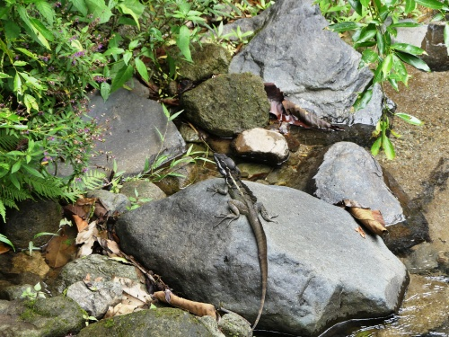 Common Basilisk in the stream by Canopy Lodge