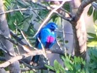Blue Cotinga