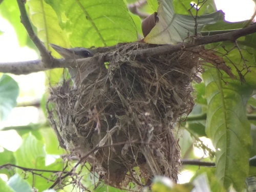 Yellow-green Vireo on her nest