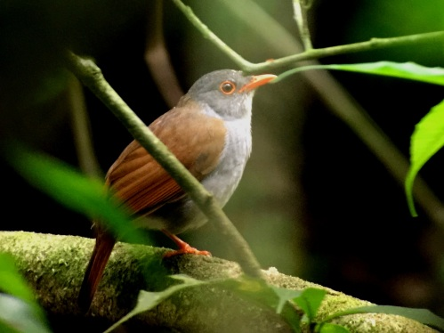 Orange-billed Nightengale-Thrush