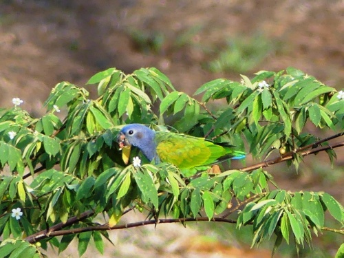 Blue-headed parrot on the grounds of Country Inn & Suites, Panama Canal