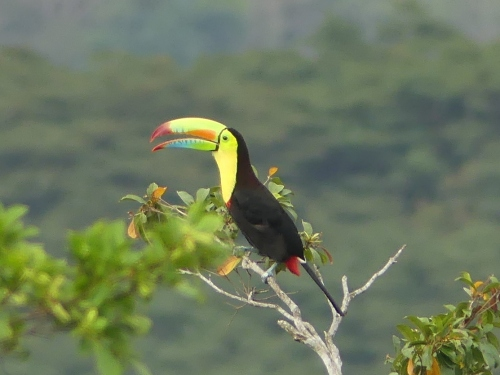 Keel-billed Toucan seen from the Canopy Tower observation deck