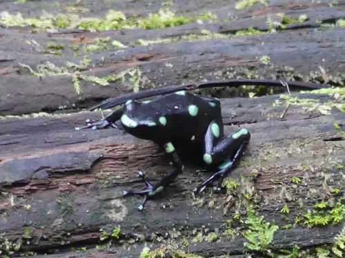 Green-and-Black Poison-dart Frog