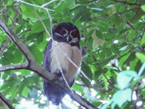 Spectacled Owl (adult)