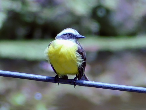 Social Flycatcher