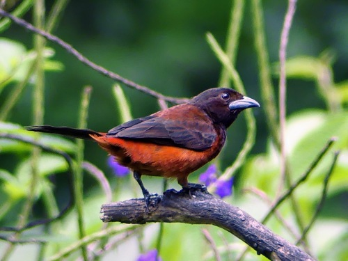 Female Scarlet-backed Tanager