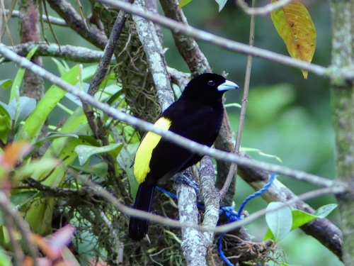 Male Flame-rumped Tanager