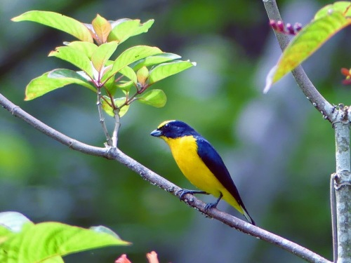 Thick-billed Euphonia (adult male)