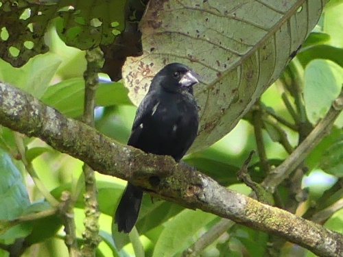 Thick-billed Seed-Finch, also seen along Sendero Las Minas