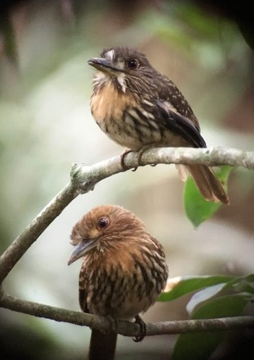 White-whiskered Puffbird pair