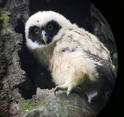 Spectacled Owl (juvenile)