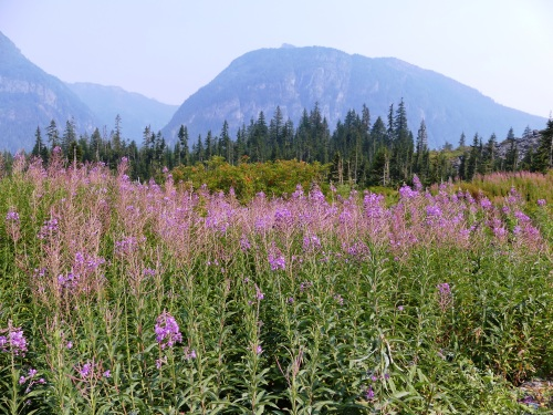 Fireweed at Big Four is beautiful even when past its prime.