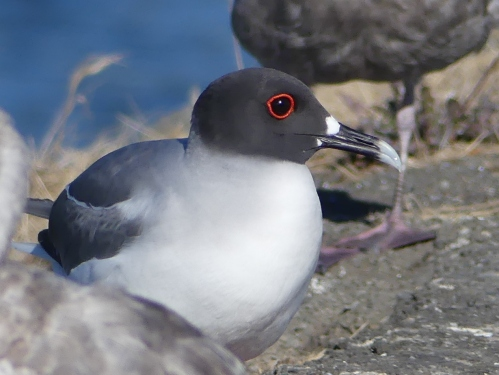 A close-up of the amazing Swallow-tailed Gull in breeding plumage. Outside breeding season, the head is white and the eye ring is black.