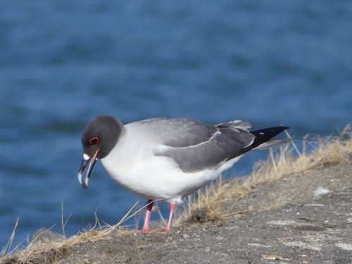 Courtship includes the male offering the female pebbles for the nest. Hmm. Does this beauty want to make more Swallow-tailed Gulls?