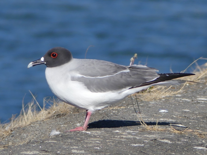 Those big beautiful eyes facilitate hunting at night. Swallow-tailed Gulls are the only nocturnal gulls in the world.