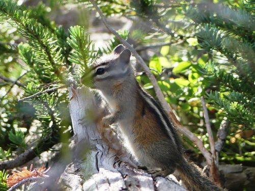 A Yellow Pine Chipmunk posed near the Sunrise Visitor's Center.