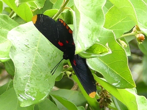 A Red-bordered Pixie at The Inn at Chachalaca Bend.
