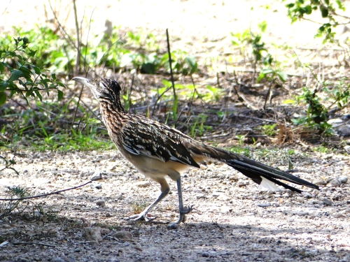 A Greater Roadrunner played hide and seek in the courtyard, mostly hiding in the vegetation. Here he dashes across an open area.