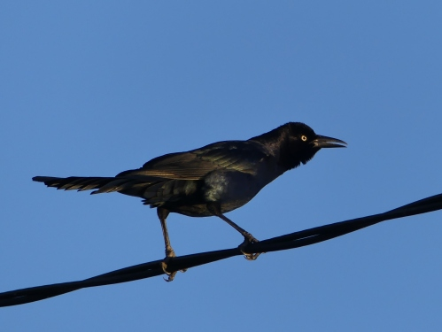 We listened to a lot of Great-tailed Grackles with Nathan Pieplow.