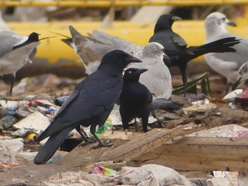 We observed three Tamaulipas Crows at the Brownsville Landfill.