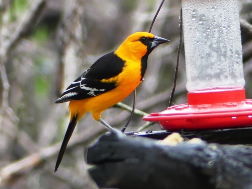A gorgeous male Altamira Oriole at Salineño.