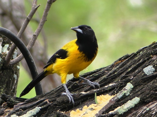 Male Audubon's Oriole at Salineño.