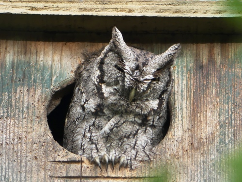 """McCall's"" Eastern Screech-Owl ranges from south-central Texas to parts of northern Mexico. It may prove to be a separate species, as it is always gray and never gives the ""whinny"" call."