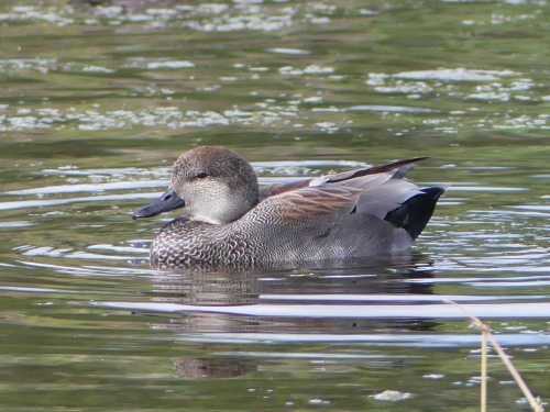 Gadwall is a common duck that I've seen many times, but never so close as at Estero Llano Grande.