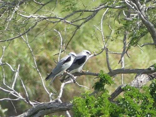 White-tailed Kites at Estero Llano Grande.