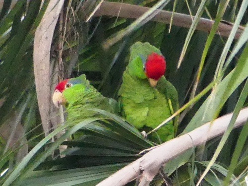 Red-crowned Parrots in Harlingen. We learned that they not only mate for life; pairs are together constantly and can even be distinguished in a flock by their close proximity to each other even in flight.