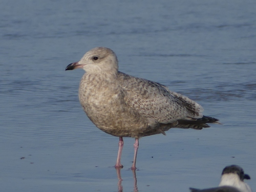 Iceland Gull at Daytona Beach Shores, Florida, January 24, 2018