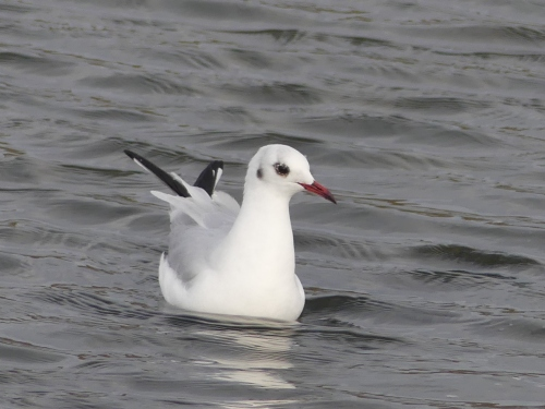 Black-headed Gull, Cocoa Landfill, January 25, 2018