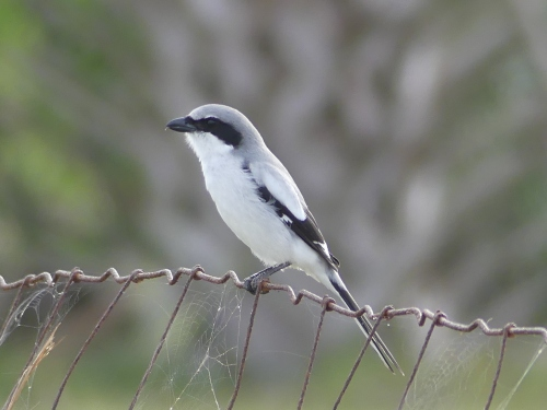 What's a trip to Florida without a Loggerhead Shrike? I observed this bird at Viera Wetlands calling and singing almost continuously.