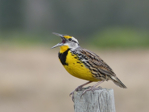 This gorgeous Eastern Meadowlark sat on a fence post outside our car window on Joe Overstreet Road and sang almost non-stop. He was still singing as we finally pulled away and continued down the road.