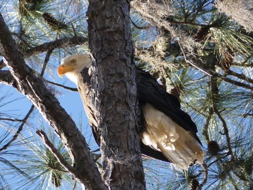 Perhaps I dreamed of eagles. Kerry and I would see five Bald Eagles the next day.