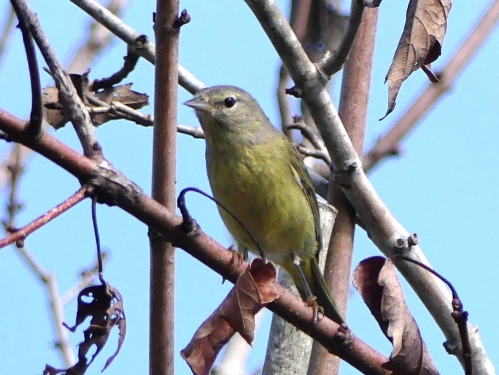 Orange-crowned Warbler at Kapok Park