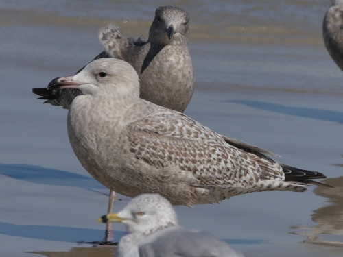 "This big, beautiful young gull is probably a Glaucous x Herring Gull hybrid, frequently called ""Nelson's Gull."""