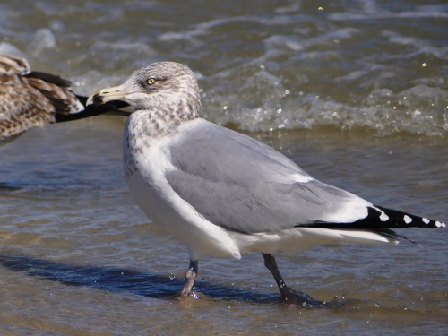 "This bird has a ring on its bill, so it's a Ring-billed Gull, right? Nope, it's a Herring Gull. Most of those common field marks only apply to adults. This bird is an ""adult type,"" probably a 4th cycle bird."