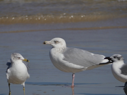 "Hmm. What's this bird with the dark tip to its bill? Yep, another ""adult type"" Herring Gull. The smaller bird to the left is an adult Ring-billed Gull."