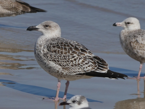 A 1st cycle Great Black-backed Gull. We saw quite a few of these beautiful birds. I love the clean, crisp pattern.