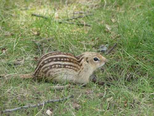 Update: Identified by Cynthia as a Thirteen-lined Ground Squirrel