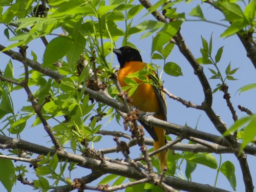 Baltimore Oriole at a Wisconsin rest stop