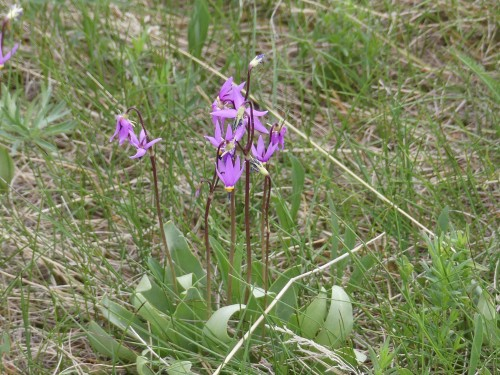 Update:  One of the two Shooting Stars native to Saskatchewan, genus Dodecatheon, but I did not measure the leaves or petals, so cannot determine which species.
