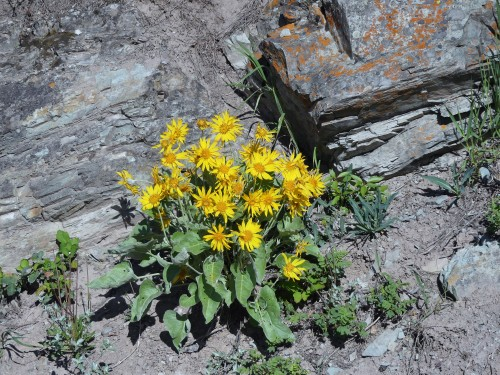 Update: I think this is Arrowleaf Balsamroot